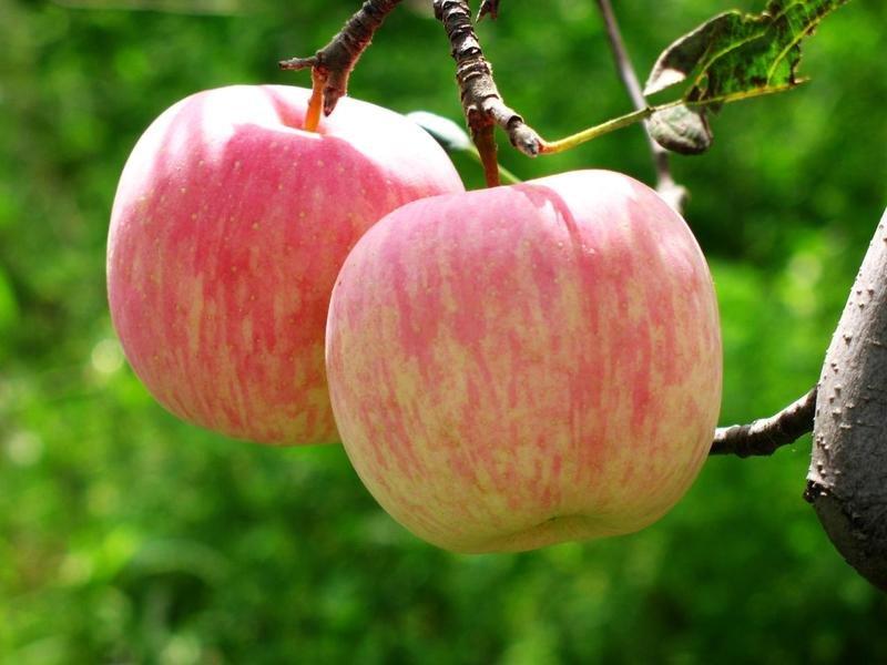 Apple-Fuji-on-tree-276732294_139